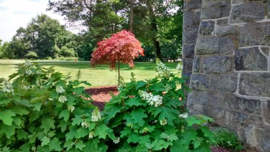 Oakbourne Arboretum Japanese Maple