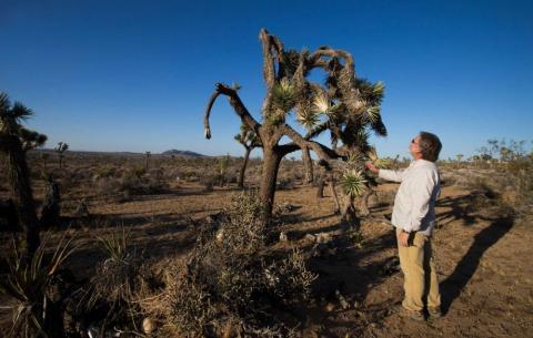 drought, Joshua tree