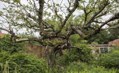 Robert Rathbone - Original Bramley apple tree