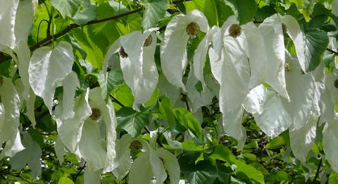 "Known as the ""dove tree"" or ""handkerchief tree,"" Davidia involucrata"