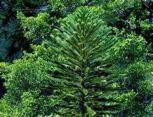 Wollimi pine