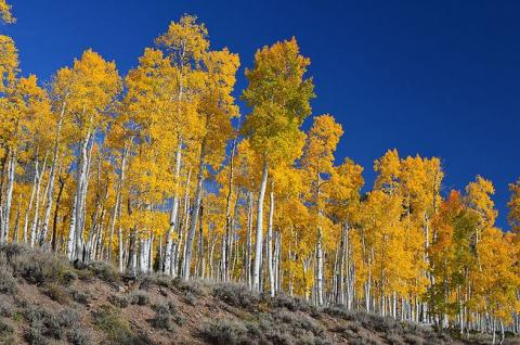 Pando is a clonal colony of a single male quaking aspen that has been genetically confirmed to be a massive single organism connected at the roots. (Photo: J Zapell/Wiki Commons)