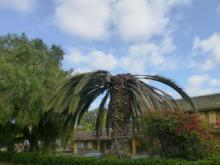 With its missing crown, this palm tree shows the telltale signs of infestation by the South American palm weevil.